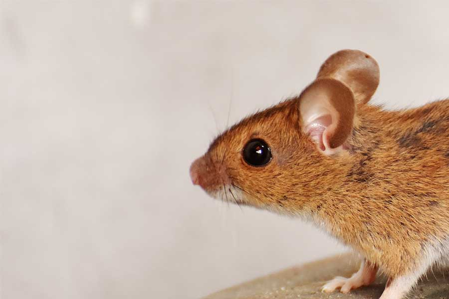 Let Reliant Pest Management Help Remove Your Rodent Issue