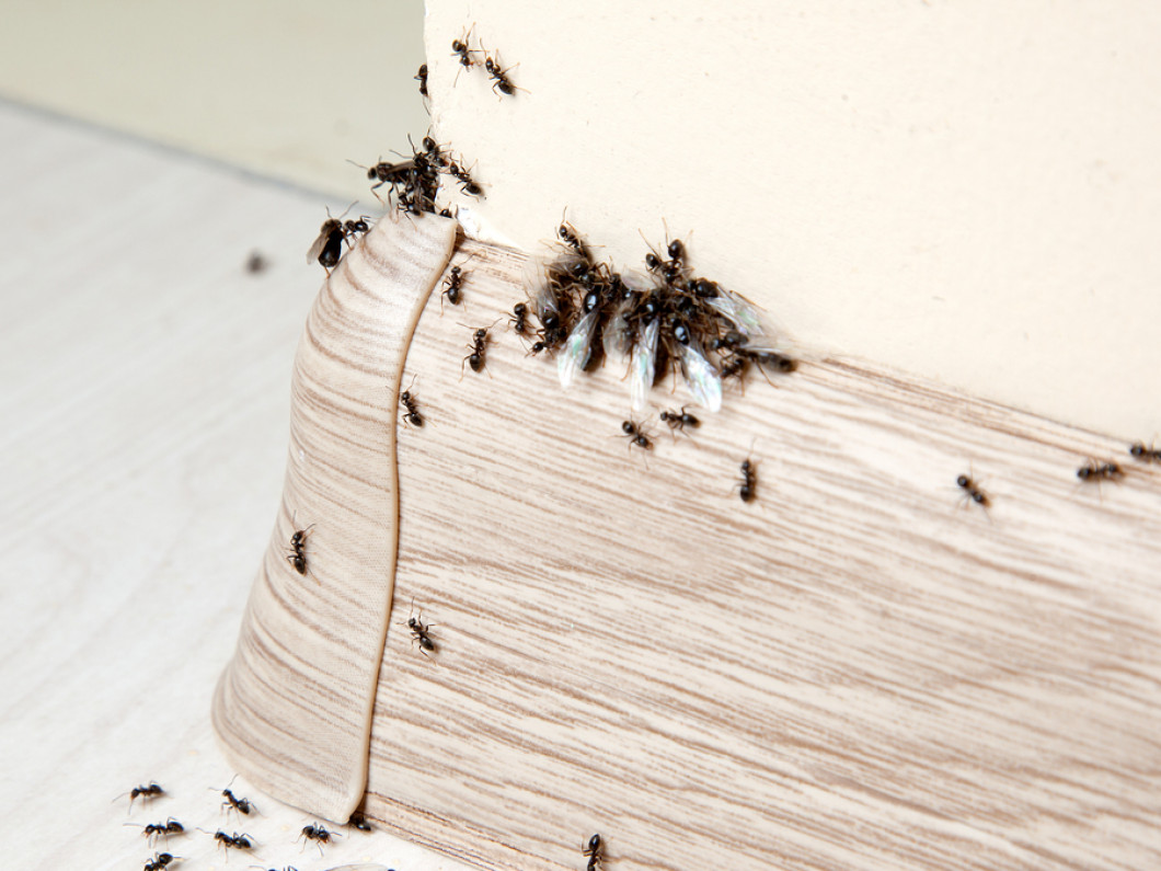 Don't Share Your Home With Ants